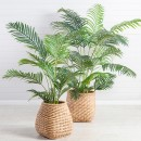 Areca-Palm-by-M.U.S.E Sale