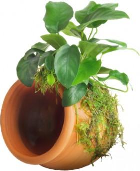 Pisces-Anubias-Nana-on-Terracotta-Pot on sale