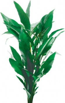 Pisces-Stricta-Blue-Bunch on sale