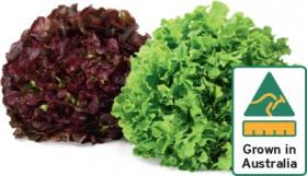 Red-or-Green-Oak-Lettuce on sale